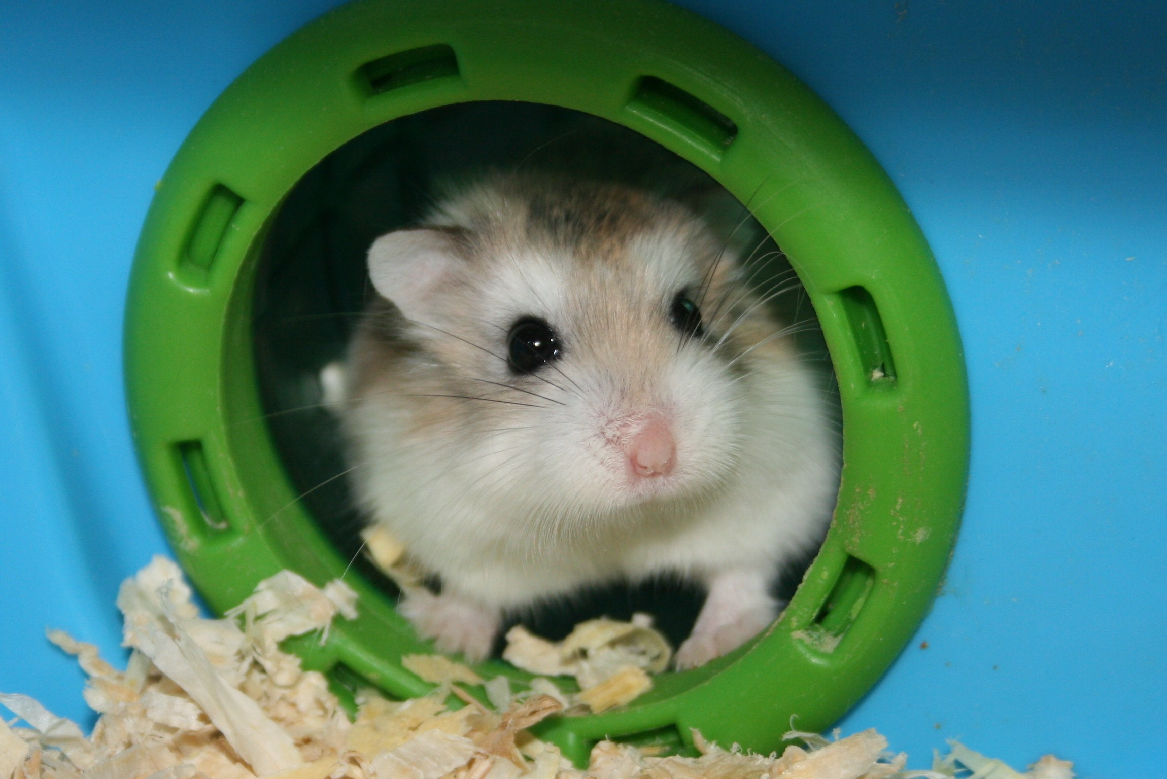 Roborovski hamsters (Phodopus roborovskii) are the the smallest and ...